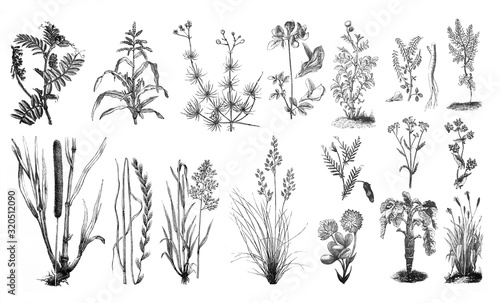 Obraz Forage plants - Antique engraved illustration from Brockhaus Konversations-Lexikon 1908 - fototapety do salonu