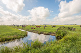 Fototapeta Fototapety z naturą - Typical Dutch polder landscape with grazing cows in the meadow and clouds reflected in the mirror smooth water surface of the ditch. The photo was taken near the village of Langerak, South Holland.