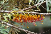 Mogo Australia, Grevillea Robusta Also Known As The Southern Silky Oak Or Silk Oak