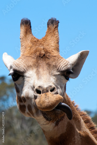 Mogo Australia, Rothschild's giraffe eating with tongue out Wall mural
