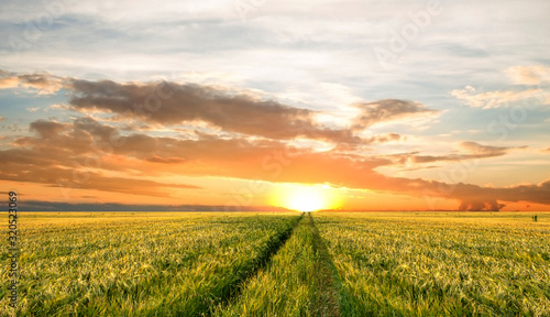 Fotomurales - Bright sunset sky with cumulus over a grain field. Rural summer landscape. Beauty nature, agriculture and seasonal harvest time.
