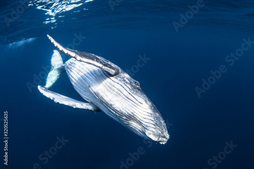 Fotomural Humpback whale calf in blue water