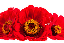 Flowers Of Red Zinnia Isolated...