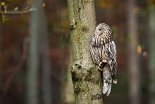 Uninterested Ural Owl, Strix U...
