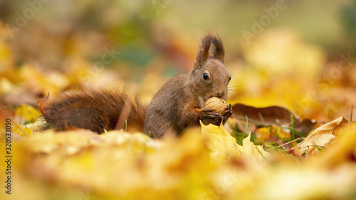 Photo Little red squirrel, sciurus vulgaris, biting the nut and observing the surroundings