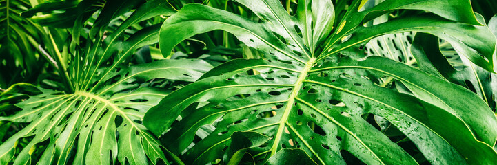 Tropical plants panoramic banner background of green leaves of Monstera Deliciosa Swiss Cheese plant leaf texture.