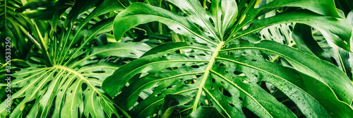 Obraz Tropical plants panoramic banner background of green leaves of Monstera Deliciosa Swiss Cheese plant leaf texture. - fototapety do salonu