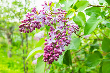 Wet Lilac Flowers, Close-up Ph...