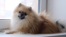 Pomeranian Dog Sits Near The Window And Looks At The Street