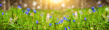 Beautiful Spring Background Many Scilla Flowers Among Green Grass In Spring Forest Web Banner