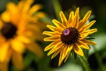 A Closeup Photo Of A Black Eyed Susan (rudbeckia) Flower