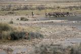 Fototapeta Sawanna - lwy ukryte w trawach obserwujące zebry przy wodopoju