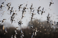 Bar-tailed Godwits In Fly. The...