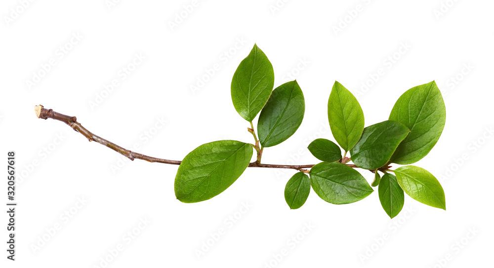 Fototapeta Fresh twig with green leaves