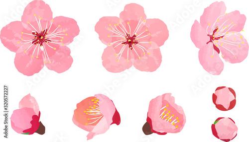梅の花 開花 つぼみ セット Canvas Print