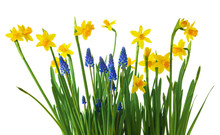 Daffodil And Muscari Flowers O...