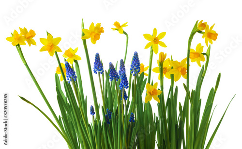 Photographie Daffodil and muscari flowers on white background.