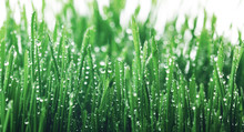 Fresh Young Green Grass With D...