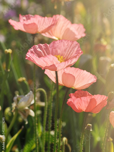 Fototapety, obrazy: Fresh beautiful pink poppies in garden. Floral background.  Springtime and summer plants.