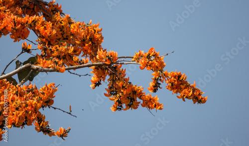Orange flower or Butea monosperma flower Canvas Print