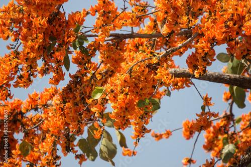Photo Orange flower or Butea monosperma flower