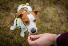 Cute Friendly Brown And White Young Jack Russell Terrier Jumping Up For A Titbit Held By A Human Hand. A Day In A Public Park. Dry Grass In Background.
