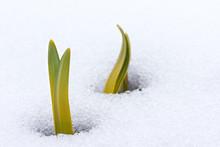 Daffodil Leaves Emerging Throu...