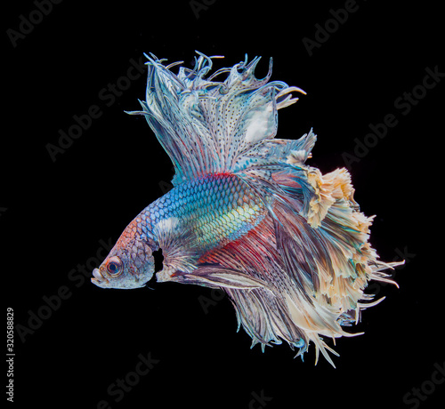 Fotomural Betta fish, siamese fighting fish isolated on black background