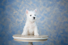 Puppy West Highland White Terr...