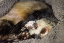 Ferret Sleeoping And Yawning