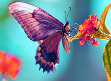 Famous Butterfly Insect On A S...