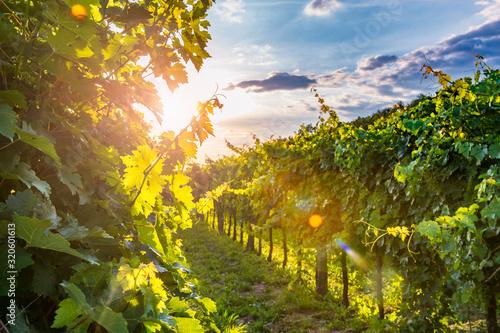 Sunny vineyard in Vipav Fototapet