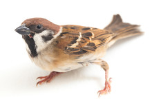 Old World Sparrows Are A Famil...