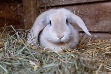 Fawn Lop Eared Rabbit In Wooden Hutch Wih Fresh Hay