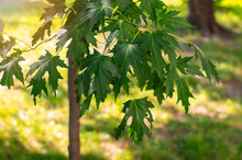 Young Silver Maple (Acer Sacch...