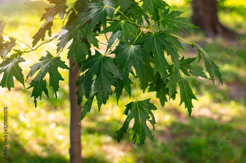 Young silver maple (Acer saccharinum) leaves in the park on a sunny spring day Fotobehang