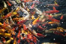Koi Fishes In Asian Farm Pool....