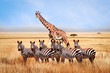 canvas print picture - Group of wild zebras and giraffe in the African savanna against the beautiful blue sky with white clouds. Wildlife of Africa. Tanzania. Serengeti national park. African landscape.