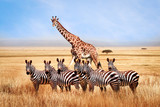 Fototapeta Sawanna - Group of wild zebras and giraffe in the African savanna against the beautiful blue sky with white clouds. Wildlife of Africa. Tanzania. Serengeti national park. African landscape.