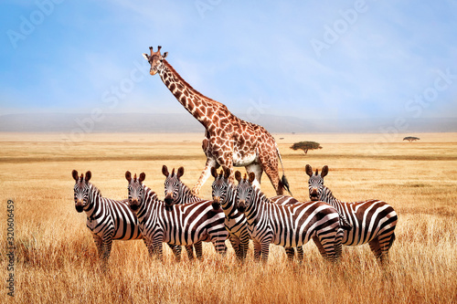 Cuadros en Lienzo Group of wild zebras and giraffe in the African savanna against the beautiful blue sky with white clouds