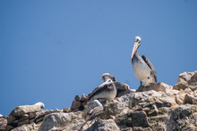 Pelican Resting On The Ballest...