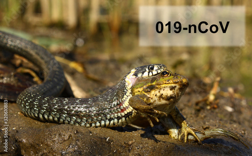 Fototapeta Coronavirus source sample with a snake eating a frog