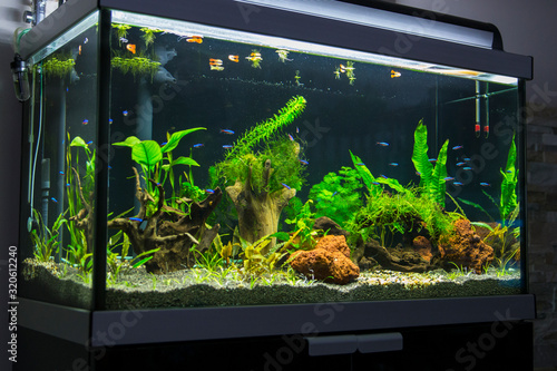 fresh water aquarium with cardinal tetra fish Fotobehang