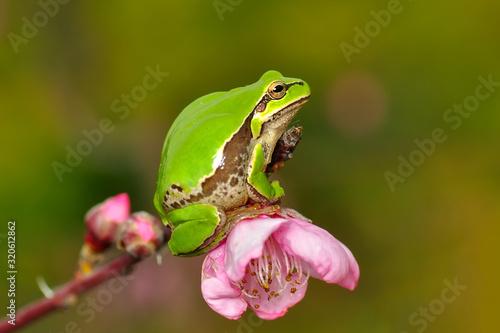 Photo Beautiful Europaean Tree frog Hyla arborea