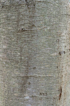 Close-up Of Tree Bark Texture With Plenty Of Cracks, In Upstate New York