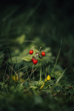 Close Up Of Wild Strawberries In The Wild Forest