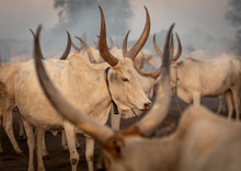 Long Horns Cows In A Mundari T...