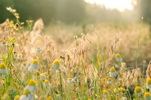 A Delightful Summer Sunrise In A Field Of Medicinal Chamomile Flowers And Meadow Herbs. Sun Glare On Dew Drops And Spider Web. Side View. Eye Level Shooting. Selective Focus.