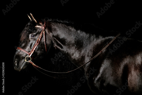 Cuadros en Lienzo Black PRE (andalusian) horse portrait in brown classic leather bridle with reigns isolated on black background