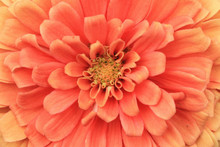 Zinnia(Youth-and-old-age) Flow...